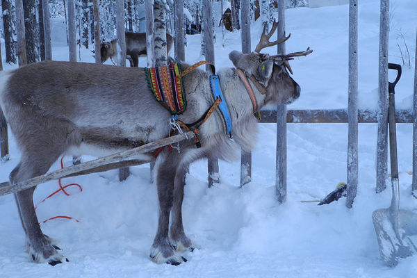 reindeer christmas day out